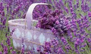 My Love of Lavender