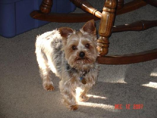 Tucker - Yorkie 10 yrs.