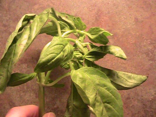Fresh basil that I was given at the art gallery . Sweet !