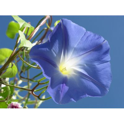 morning glory blue